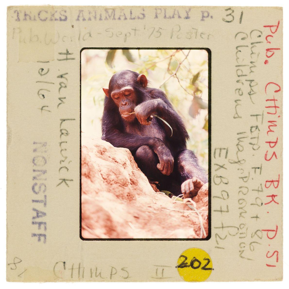 Un chimpanzé déguste des termites sur une brindille qui a été trempée dans une termitière.