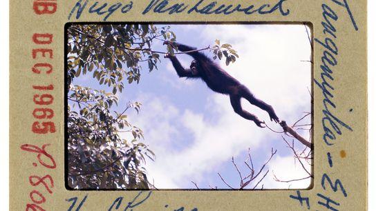 Un chimpanzé saute d'une branche à une autre.