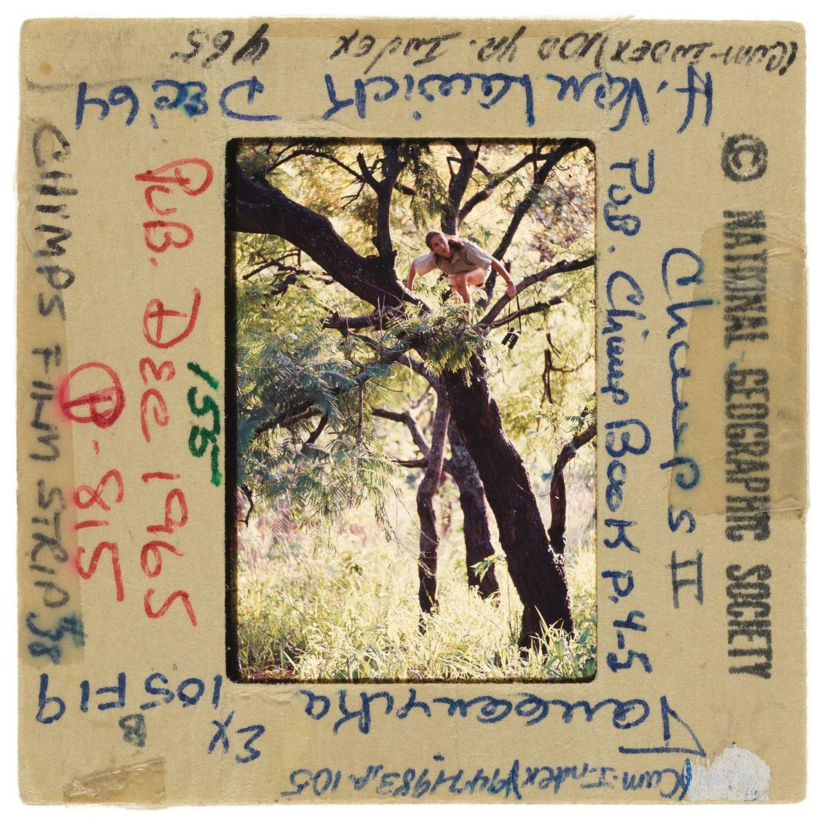Jane Goodall grimpe dans un arbre équipée de jumelles afin d'avoir une meilleure vue des chimpanzés.