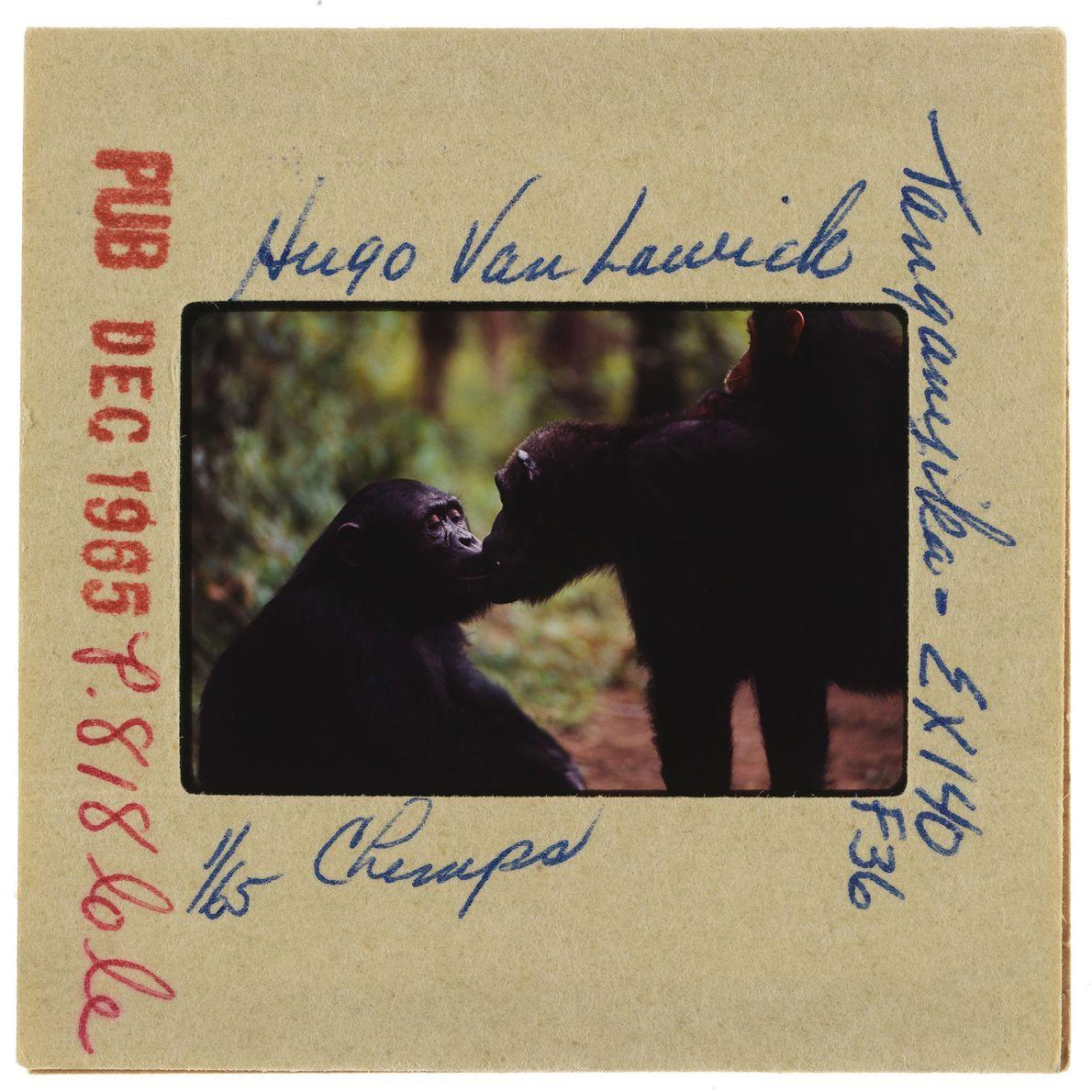 Un gros plan de deux chimpanzés qui s'embrassent.