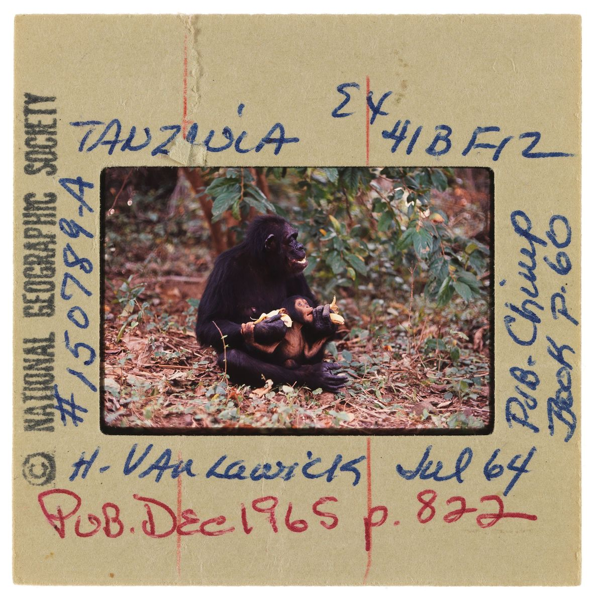 Dans le parc national de Gombe, un chimpanzé berce son petit et le nourrit d'une banane.