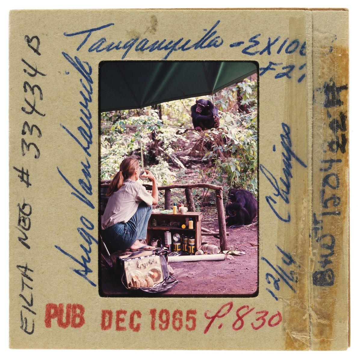 Jane sirote une boisson tout en contemplant un chimpanzé perché sur une corde de tente.