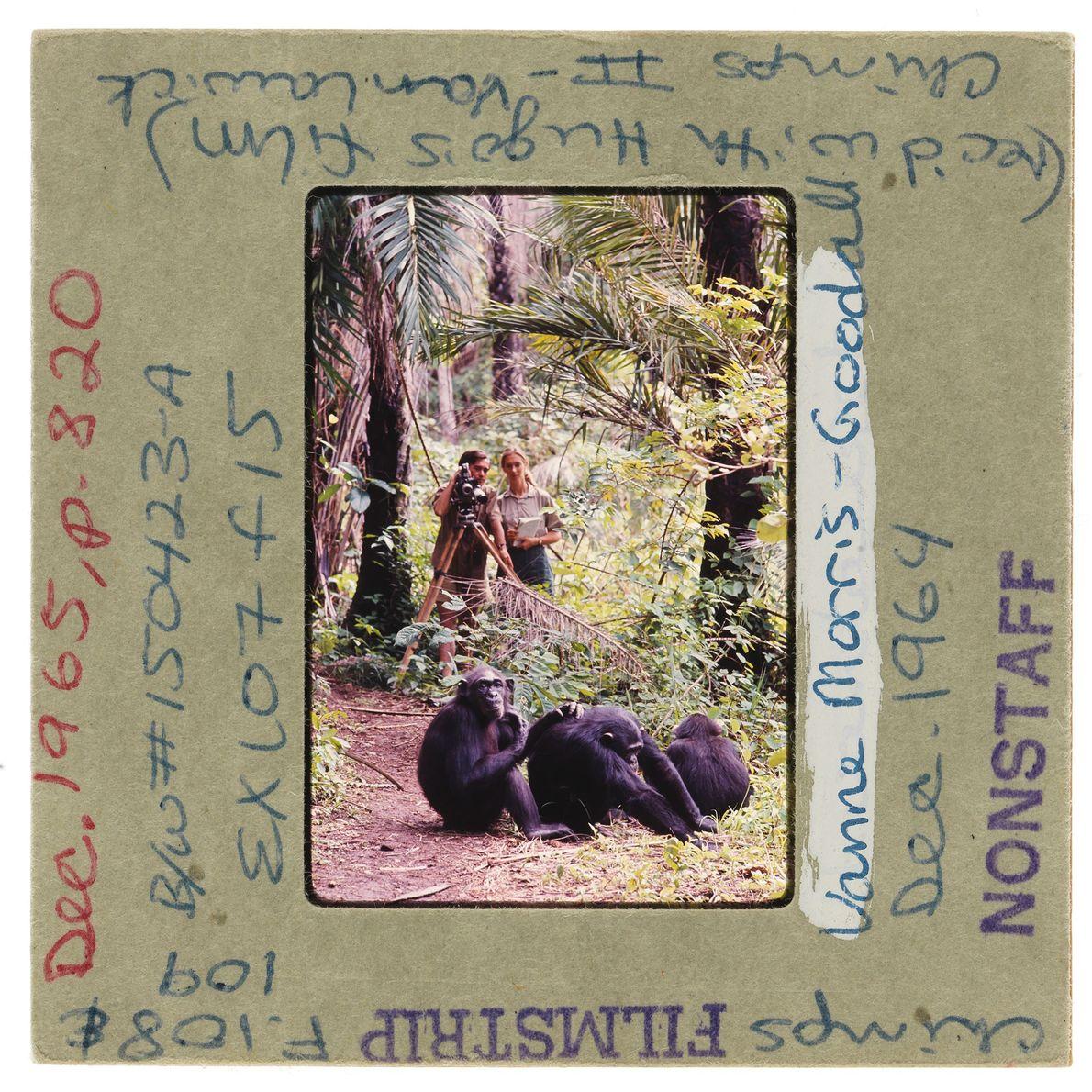 En 1965, le photographe Hugo van Lawick et la primatologue Jane Goodall observent une famille de ...