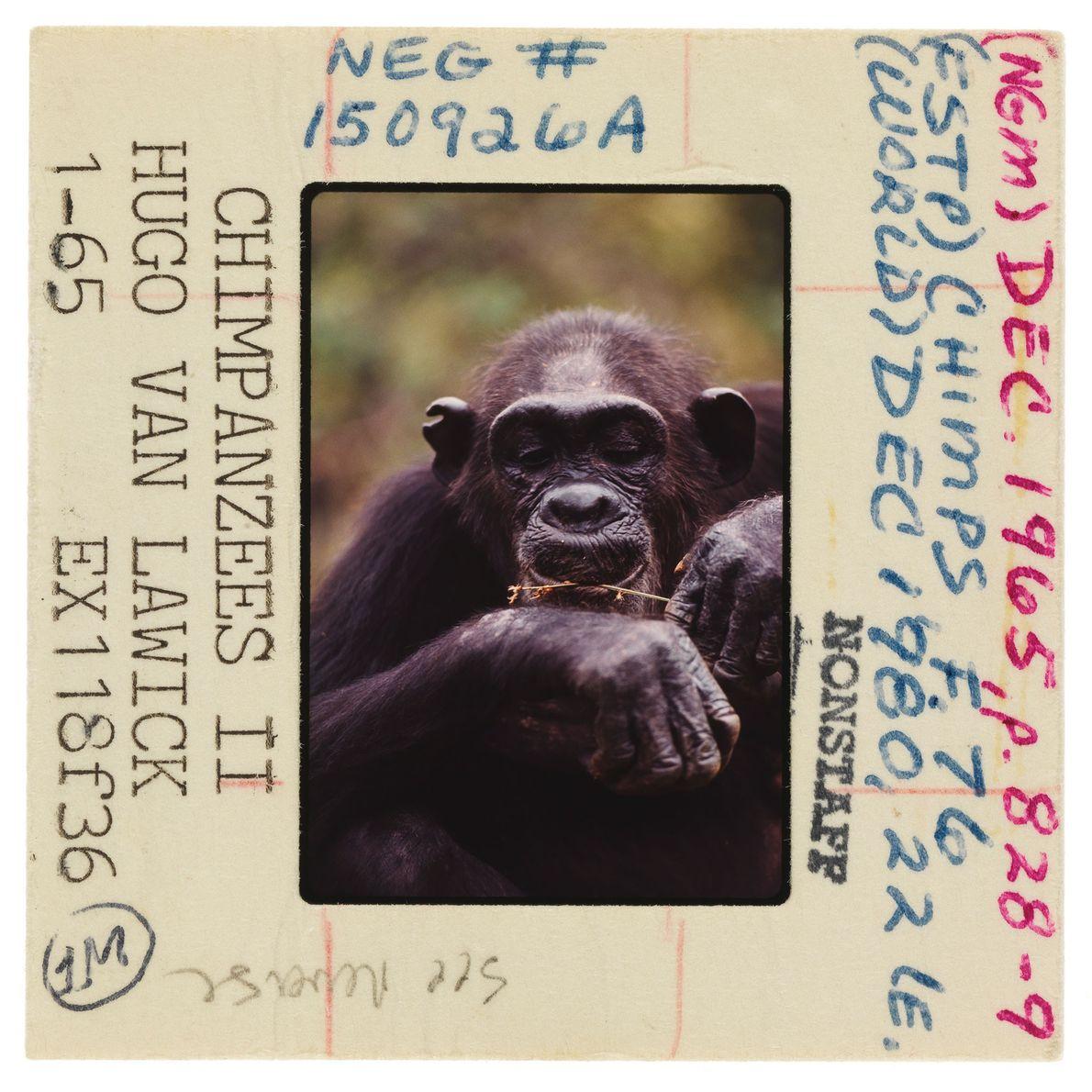 Un chimpanzé retire les termites d'une brindille à l'aide de ses lèvres. Jane Goodall fut la ...