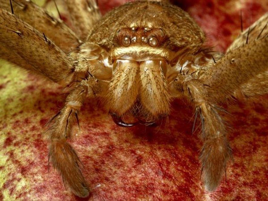 L'exosquelette vide d'une araignée de la famille Sparassidae, comme celui-ci retrouvé en Arizona, est à peine ...