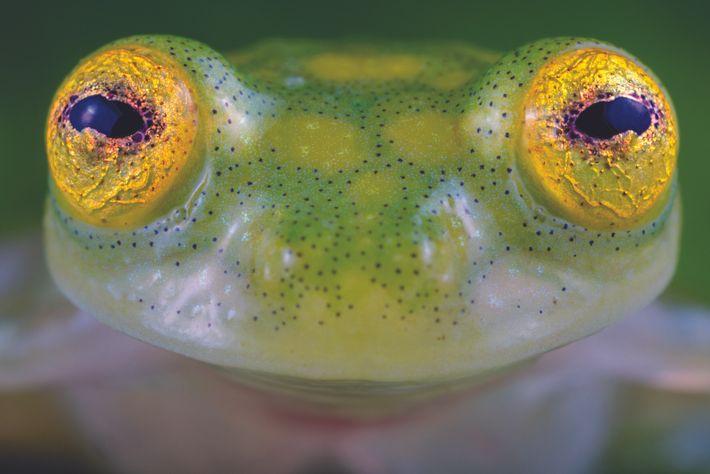 Cette grenouille de verre récemment découverte, du genre Hyalinobatrachium, mesure moins de 2,5 cm. Un amphibien unique : il émet un sifflement ...