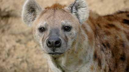 L'odeur du sang provoque une révolte dans cette meute de hyènes