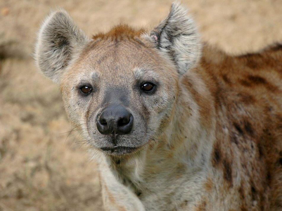 Un jeune buffle attaqué par des hyènes et des lions