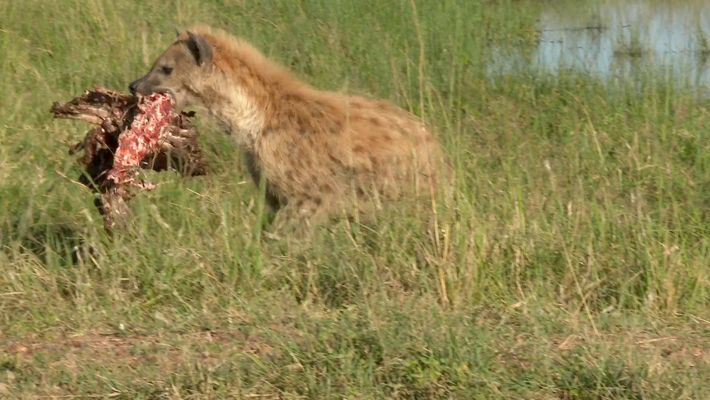 hyenas-steal-lions-kill-fr