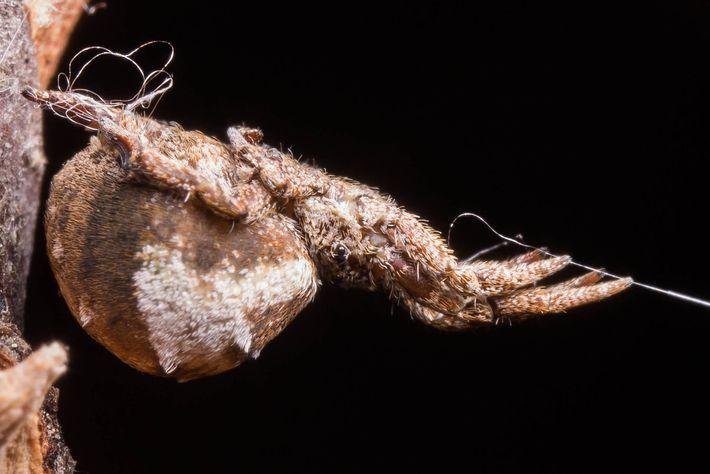Lors d'une expérience en laboratoire, Hyptiotes cavatus maintient sa toile tendue grâce à son fil d'arrimage ...