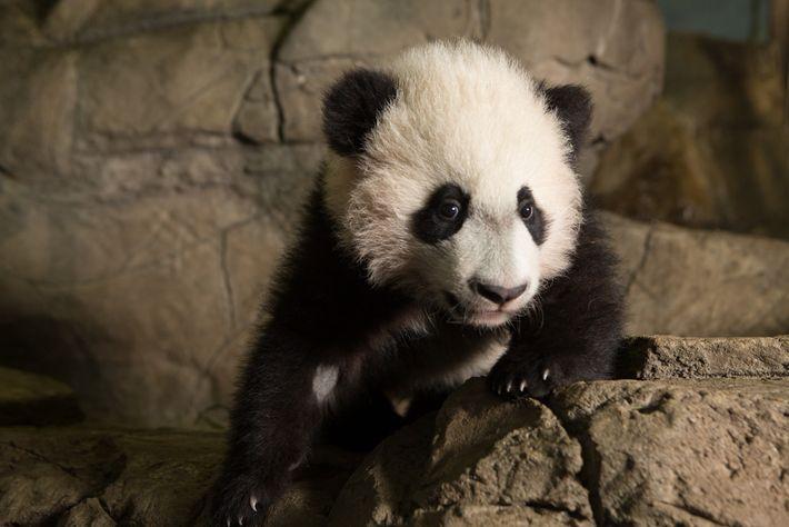 En plus de son nouveau-né, Mei Xiang a trois autres petits : Tai Shan, Bao Bao ...