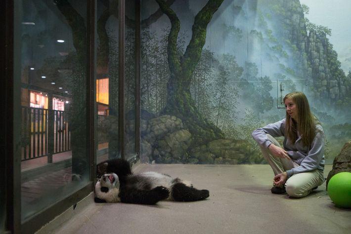 Les gardiens du zoo de Washington commencent à entraîner les pandas géants à cinq mois environ, ...