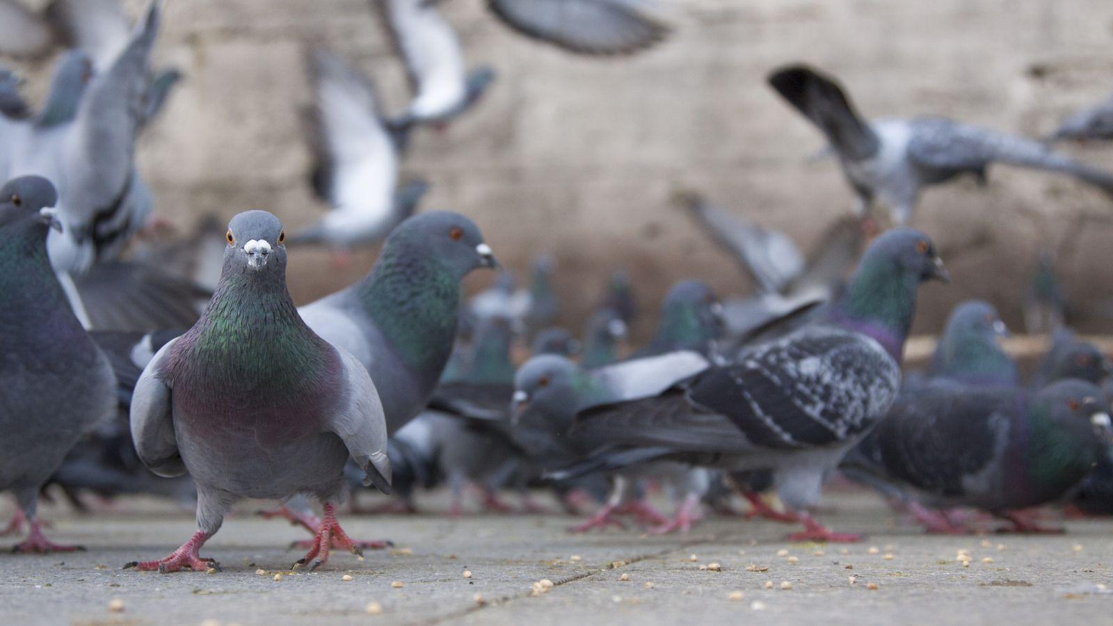Les pigeons et les rats remplacent peu à peu les espèces rares et endémiques de notre ...