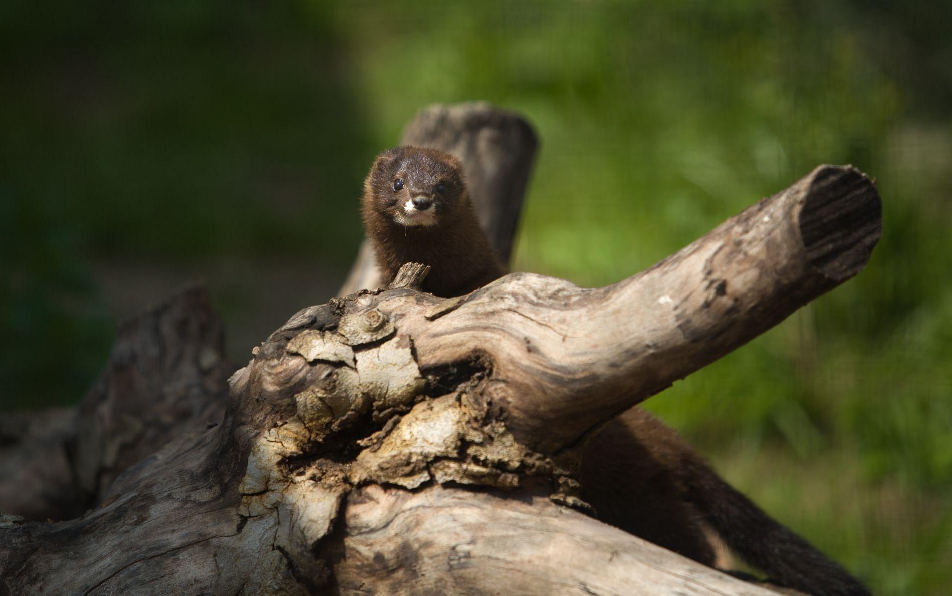 Malgré sa richesse, la France voit sa biodiversité décliner massivement au fil des années. C'est notamment le cas du vison d'Europe (Mustela lutreola) qui figure sur la Liste rouge nationale des espèces menacées de l'UICN France et du MNHN.