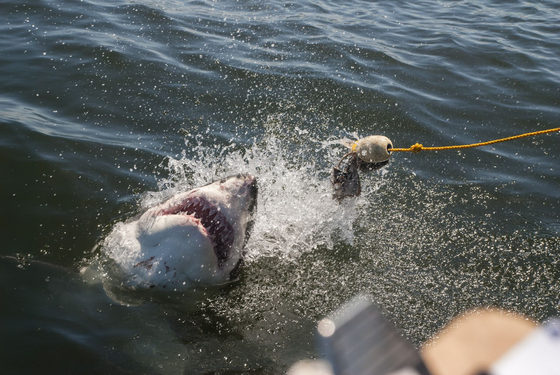 Le requin-taupe occupe une place importante dans la chaîne alimentaire. Sa disparition aurait des conséquences désastreuses, ...