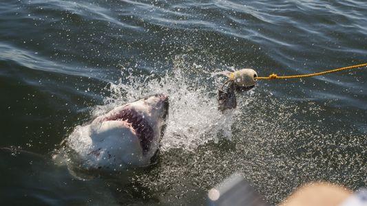 Le requin le plus rapide au monde est au bord de l'extinction