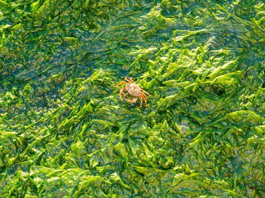 Marée verte : le retour des algues vertes inquiète la Bretagne