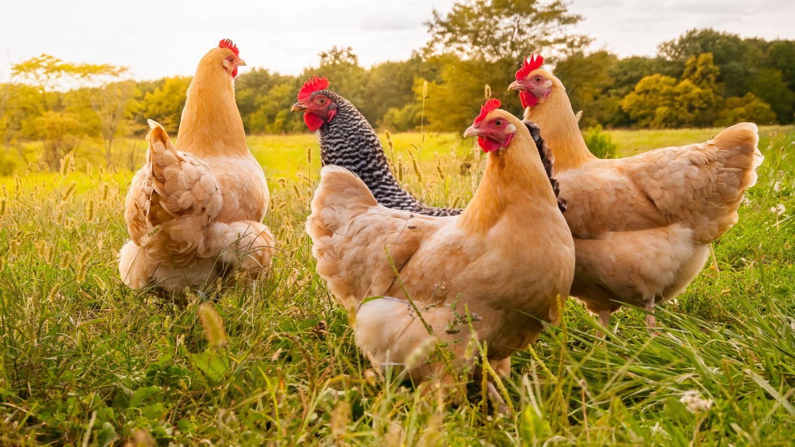 Consommer du poulet plutôt que du bœuf permettrait de réduire notre empreinte carbone alimentaire de moitié.