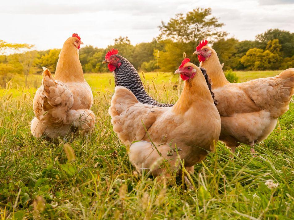 Préférer le poulet au bœuf réduirait notre empreinte carbone de moitié