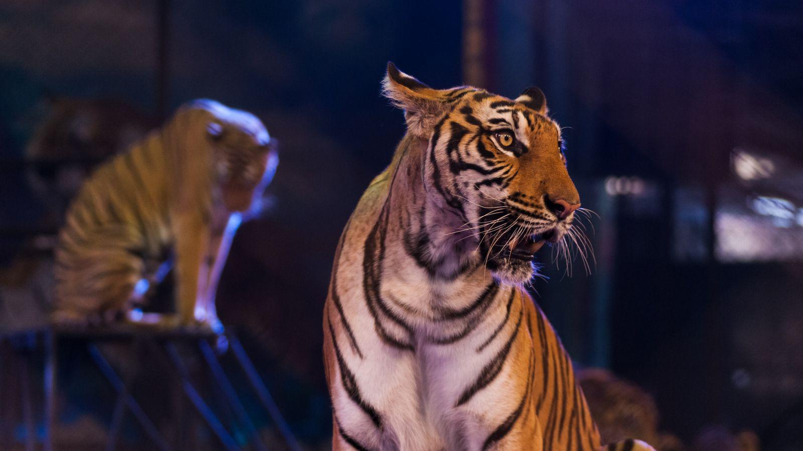 Des tigres dans une arène de cirque.