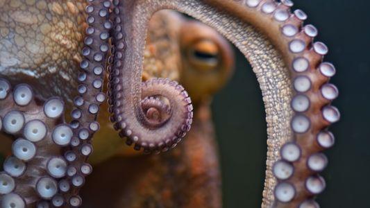 Kraken : le calamar géant qui a fait trembler les mers