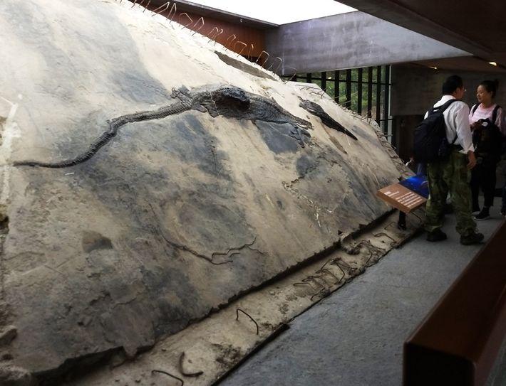 Cette image montre l'échantillon d'ichtyosaure dont le contenu stomacal apparaît comme un bloc qui sort du ...