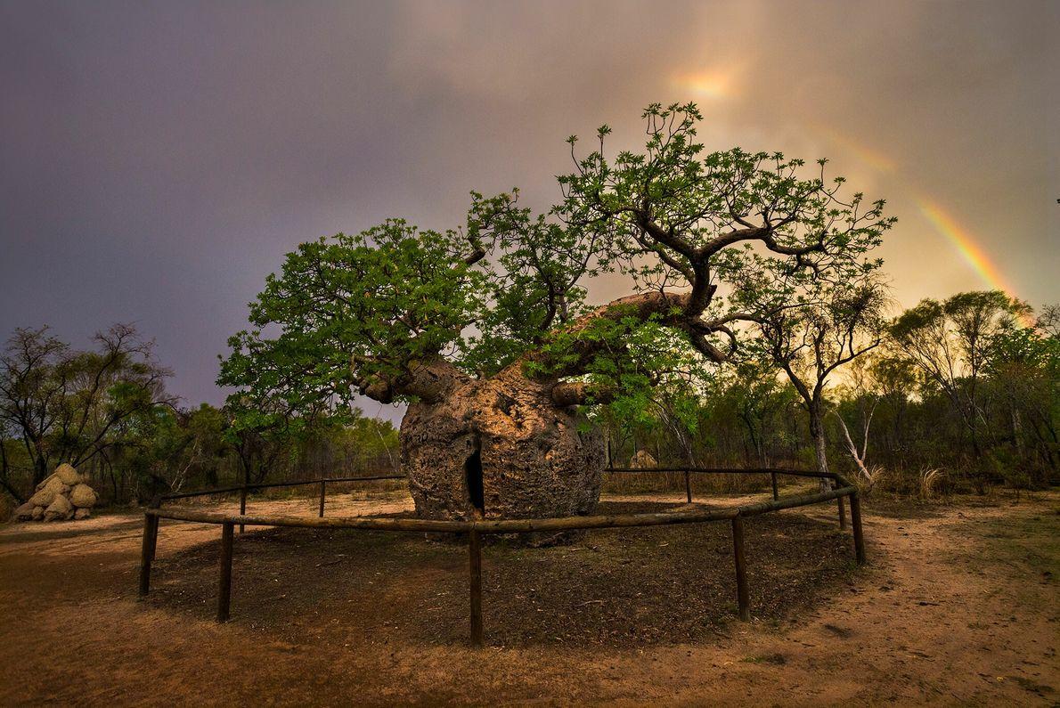 Le Boab Prison Tree à Derby, en Australie, se distingue de ses voisins avec son tronc ...