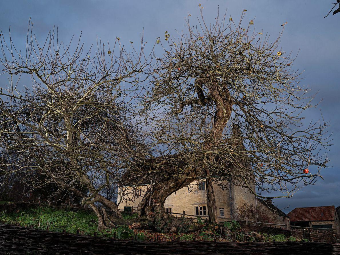 On pense que ce pommier, près de la maison familiale d'Isaac Newton dans le Lincolnshire, en ...