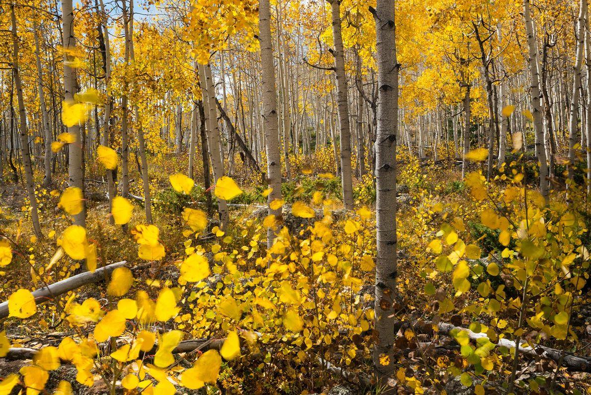 Ce qui semble être une forêt dense de peupliers faux-trembles est en fait un organisme vivant ...