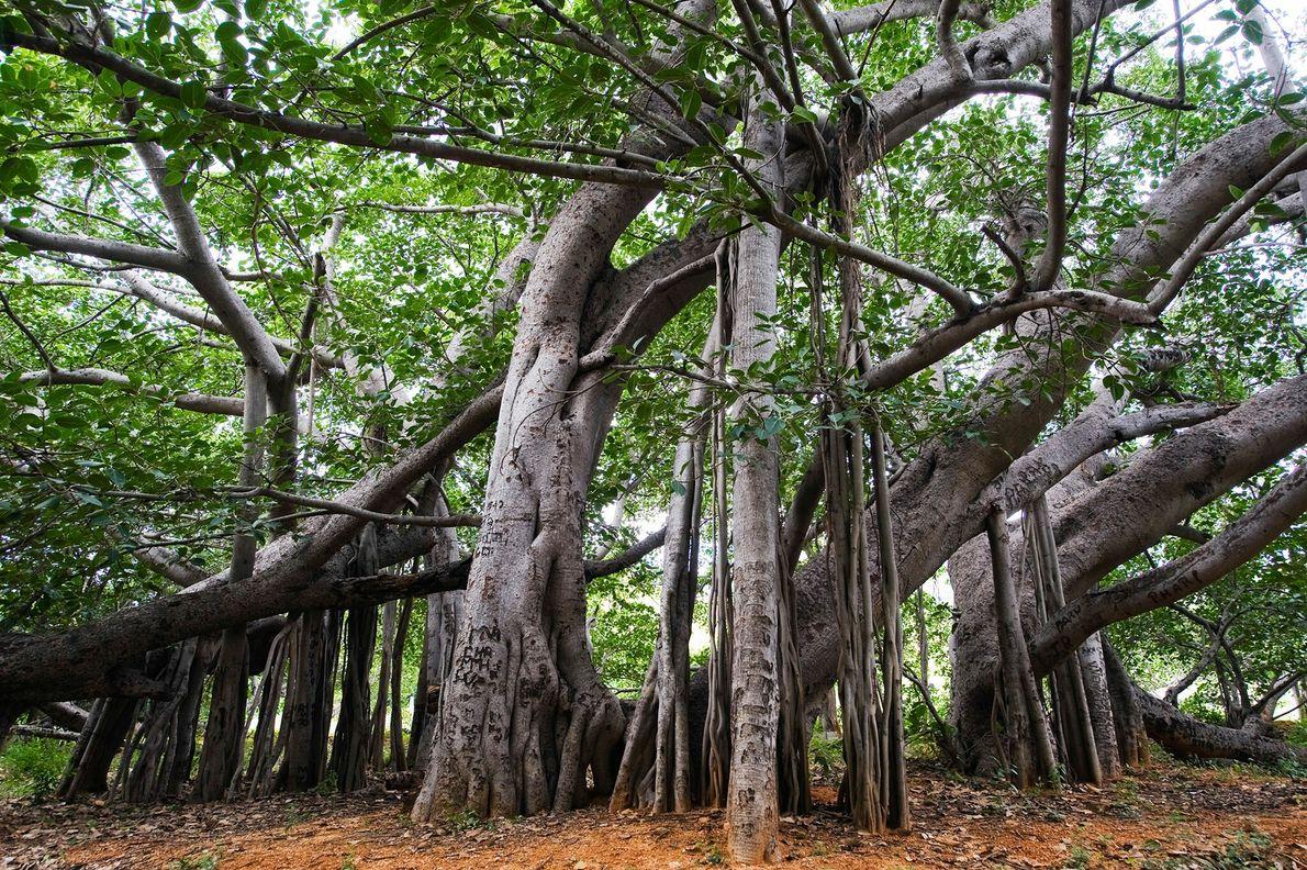 Le Thimmamma Marrimanu, en Inde, est un énorme banyan vieux de plus de 500 ans dans ...