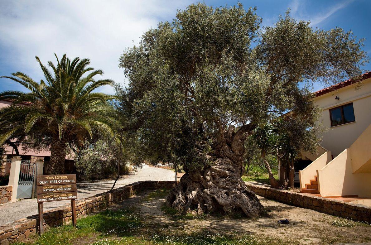 On estime que l'olivier de Vouves a plus de 2 000 ans. C'est probablement le plus ...