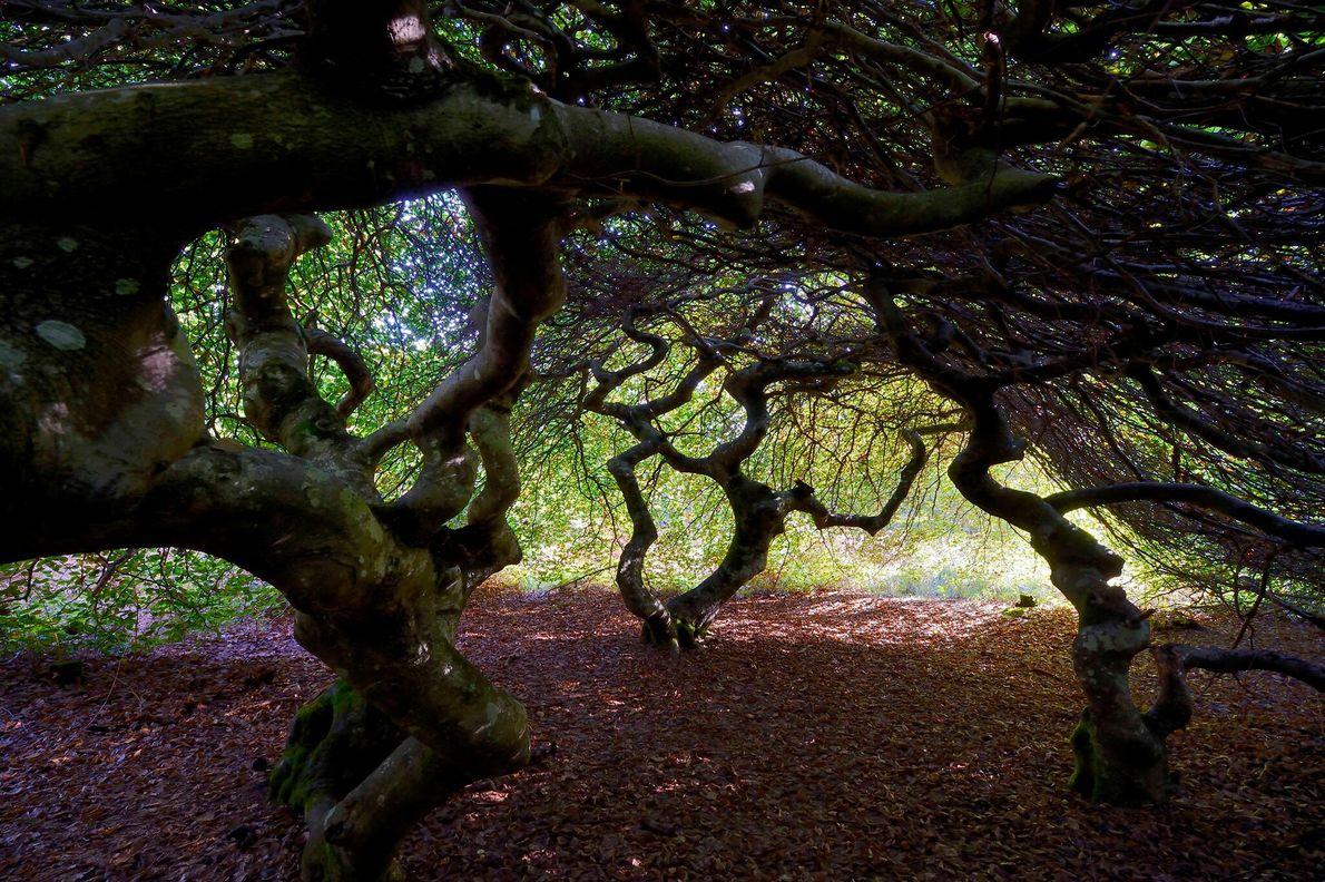 Mêlant leurs branches en un dôme noueux, les hêtres nains de Verzy, en France, ont inspiré nombre d'histoires ...