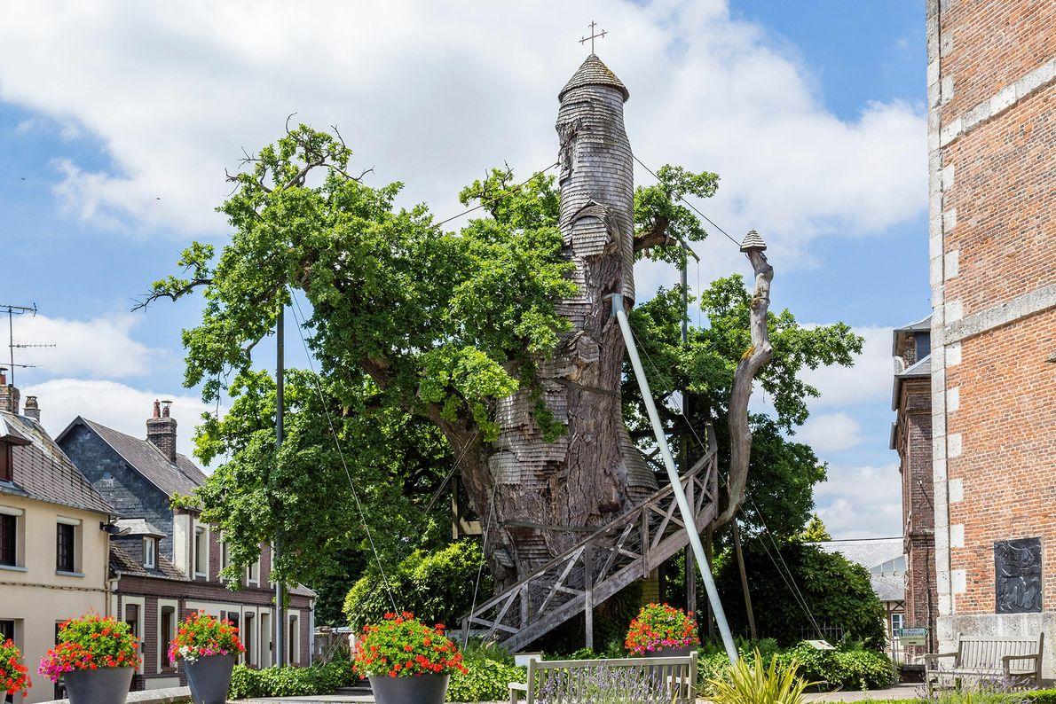 Vieux et tordu, ce chêne centenaire d'Allouville-Bellefosse, village agricole de la région normande, veille sur une ...