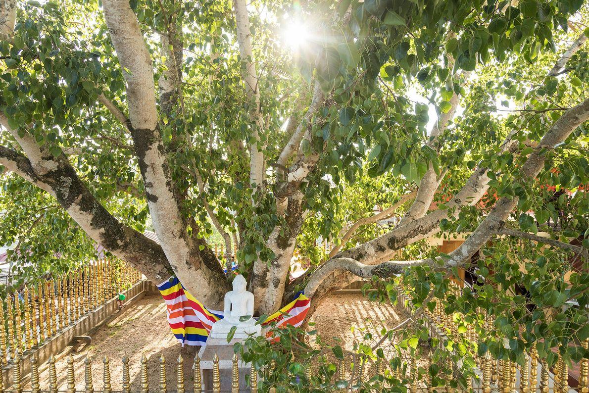 Le figuier Jaya Sri Maha Bodhi, dans les jardins Mahamewna d'Anuradhapura, au Sri Lanka, serait né ...