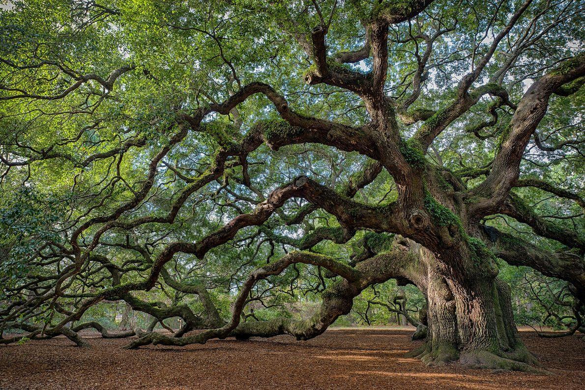 Pour une escapade à Charleston, l'Angel Oak sur l'Île de Johns en Caroline du Sud offre un cadre ...