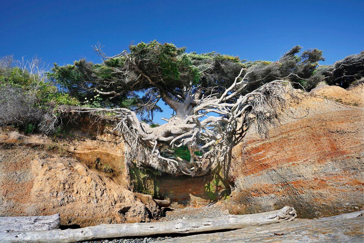 Avec des racines atteignant un canyon érodé, le Kalaloch Tree dans la Péninsule Olympique (Olympic National ...