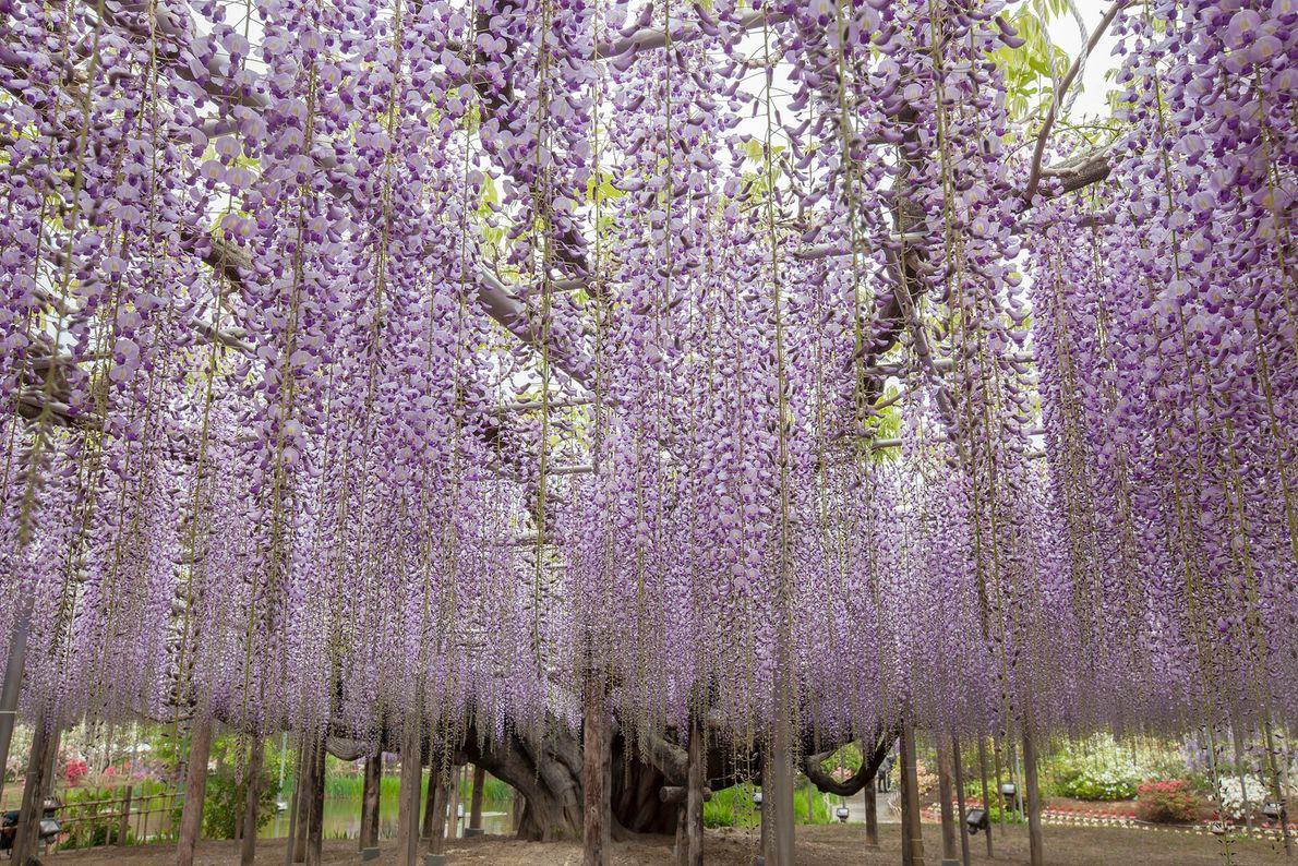 Alors que les célèbres cerisiers en fleurs attirent des foules de voyageurs au Japon chaque année ...