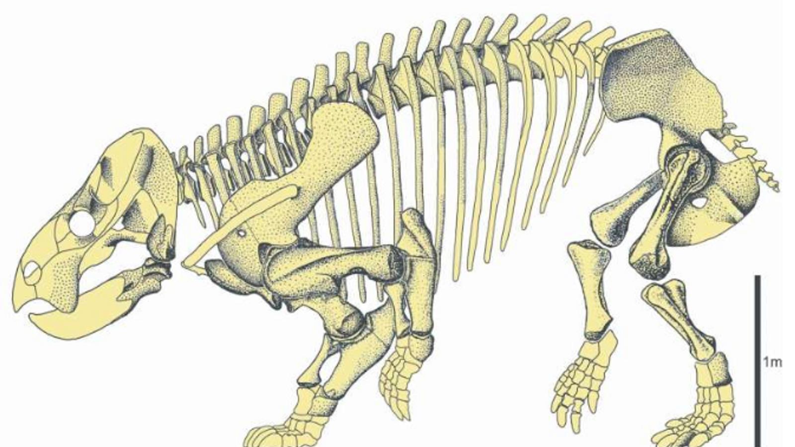 La forme des pattes avant du dicynodonte retrouvé en Pologne n'est pas arquée vers l'intérieur, ce ...