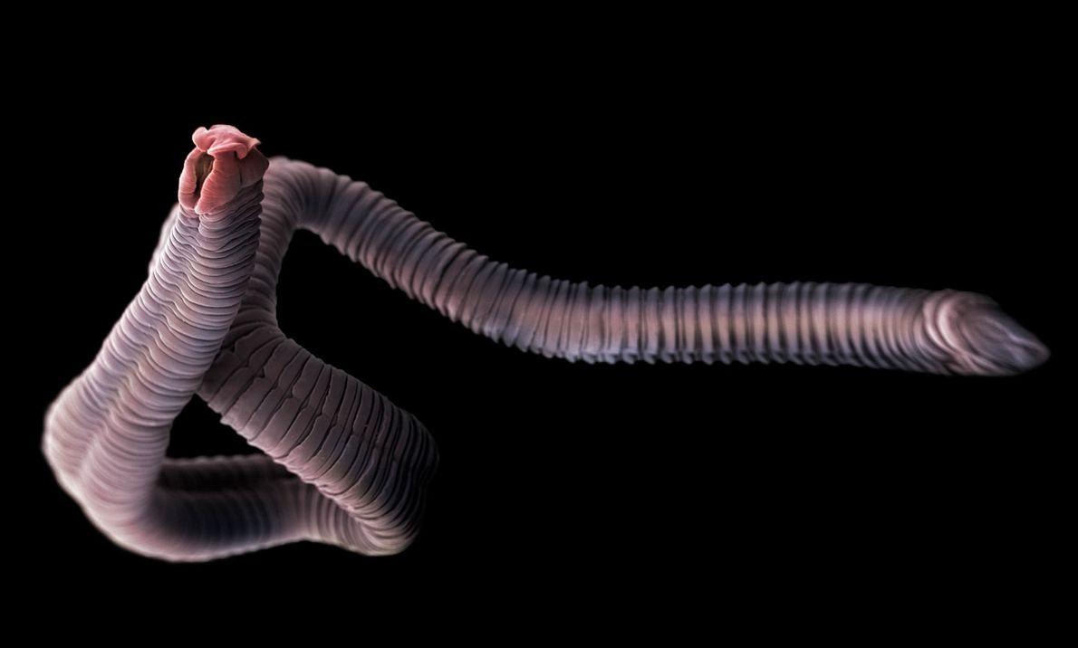 Les cestodes sont des parasites qui vivent dans les intestins des humains et des animaux, notamment ...