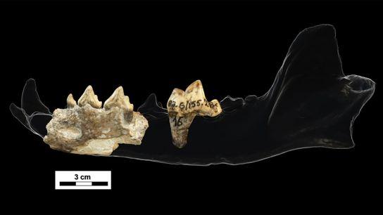 Mis au jour sur le site de Dmanisi, daté de 1,8 million d'années et situé en Géorgie, ...