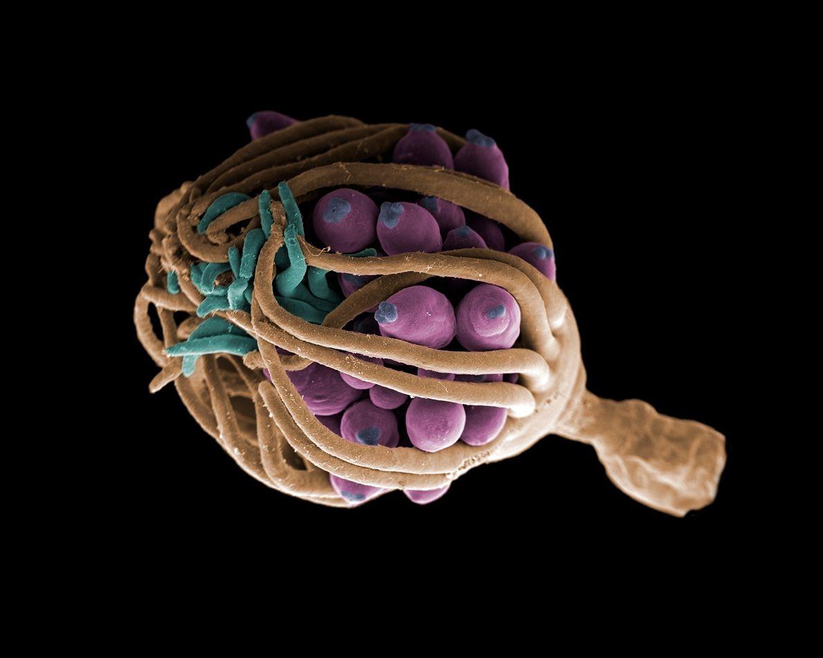 Sur ce cliché, un hydrozoaire se sert de ses tentacules pour protéger ses gonophores, c'est-à-dire son ...