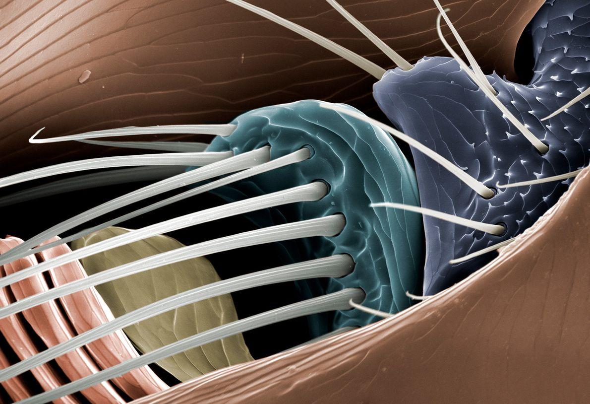 Ce détail d'une puce dévoile l'une des deux antennes du parasite, qui « jouent un rôle ...
