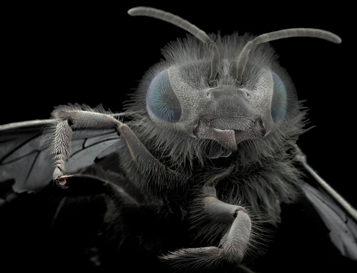 Jannicke Wiik-Nielsen a trouvé cette abeille dans son jardin. Ses mandibules, situées à la base de ...