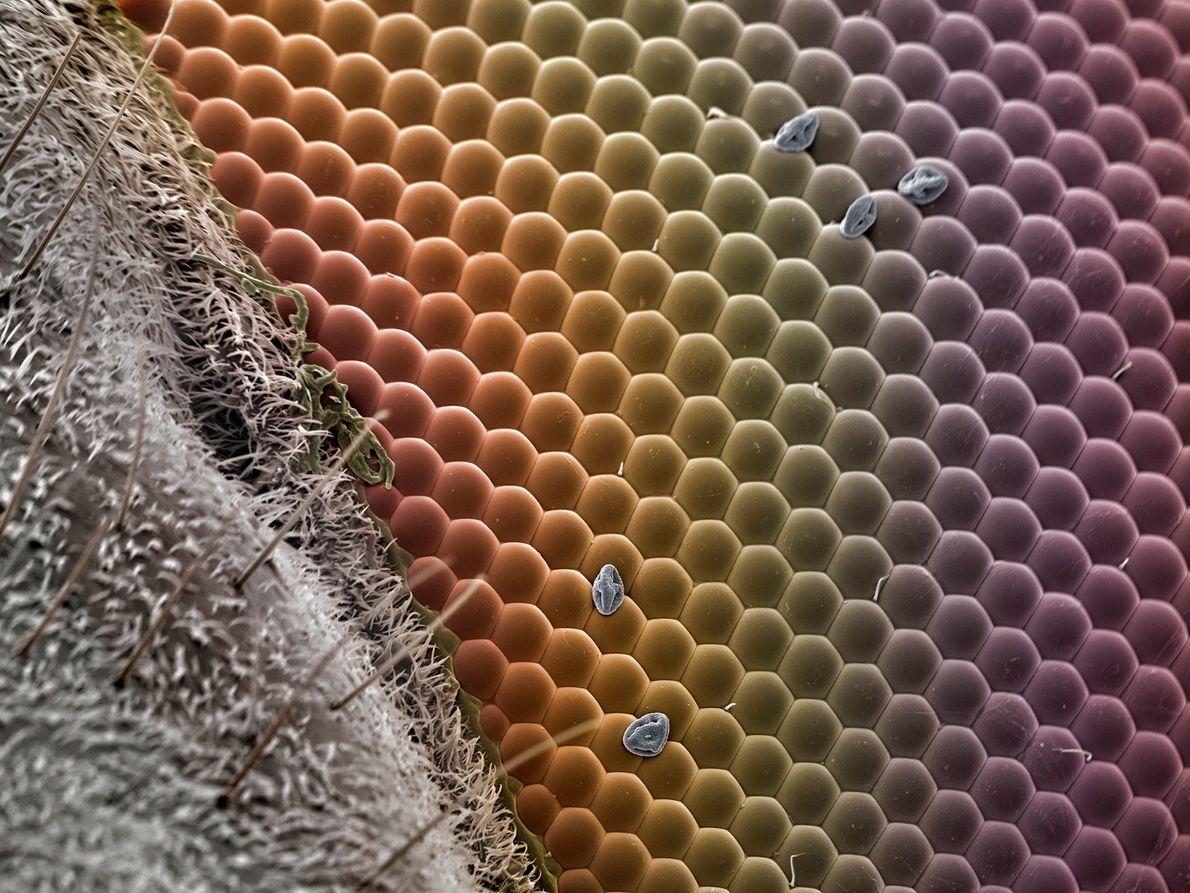 """Quelques grains de pollen dispersés sont visibles dans ce détail d'un œil de syrphide. """"L'œil est ..."""