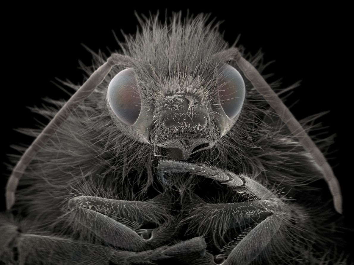 Les bourdons « sont d'importants pollinisateurs pour l'agriculture », confie la photographe. Celui du cliché a ...