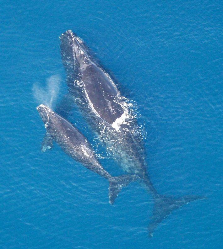 Une baleine franche de l'Atlantique Nord (Eubalaena glacialis) et son baleineau. Après des siècles de chasse, ...