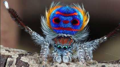 La chorégraphie rythmée de l'araignée paon