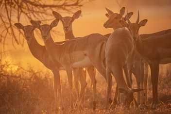 Naissance d'un petit impala en images