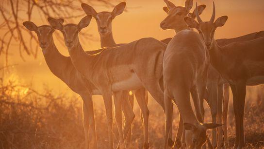 Gorongosa compte aujourd'hui plus de 6 000 impalas.