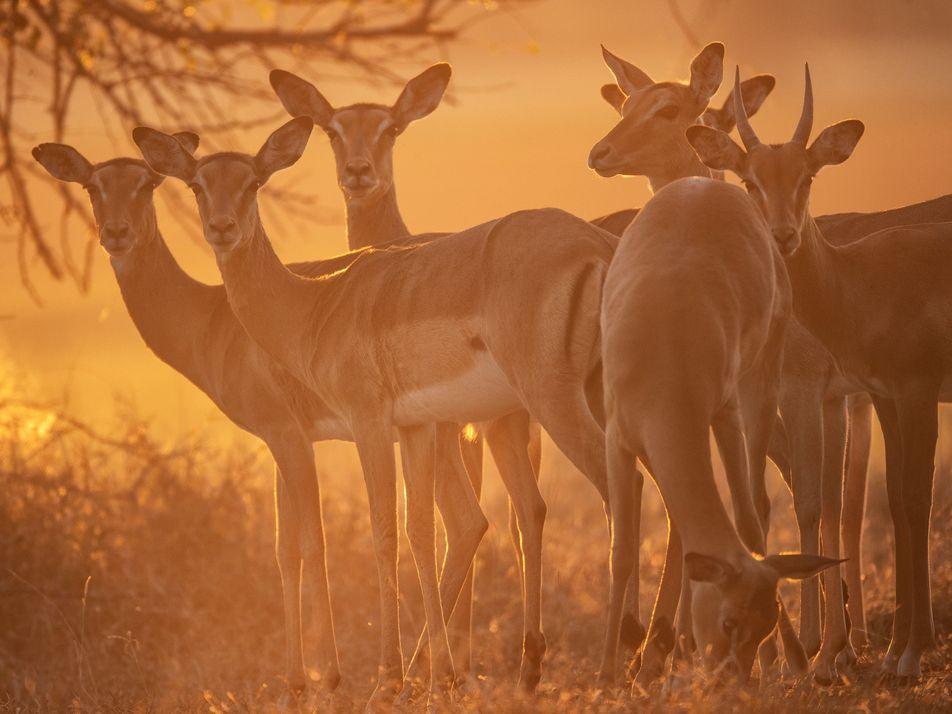 Que devient une faune sans prédateur ?